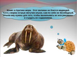 Живёт в Арктике морж. Этот великан не боится медведей. Хотя у моржа острые мо