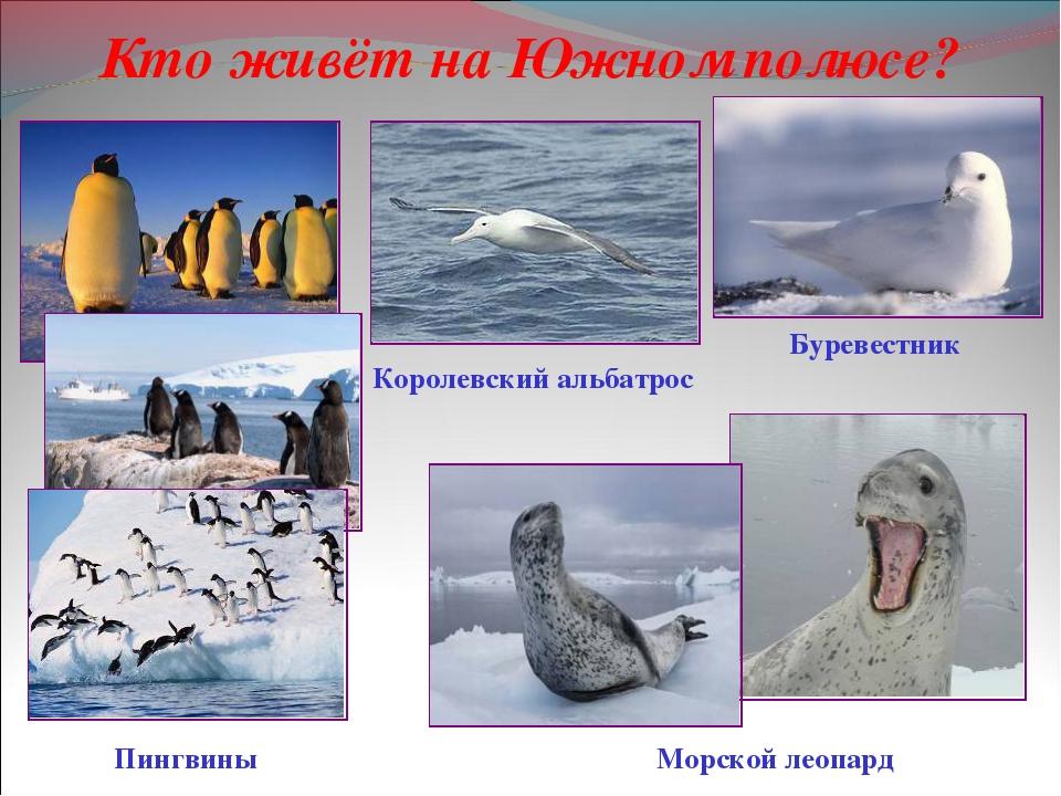 Кто живёт на Южном полюсе? Морской леопард Буревестник Королевский альбатрос...