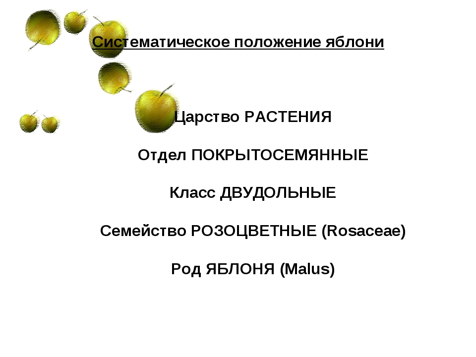 Систематическое положение яблони Царство РАСТЕНИЯ Отдел ПОКРЫТОСЕМЯННЫЕ Класс...