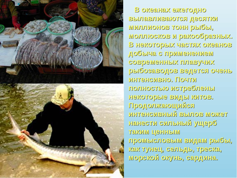 В океанах ежегодно вылавливаются десятки миллионов тонн рыбы, моллюсков и ра...