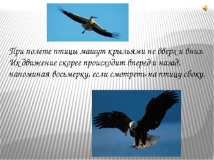 При полете птицы машут крыльями не вверх и вниз. Их движение скорее происходи