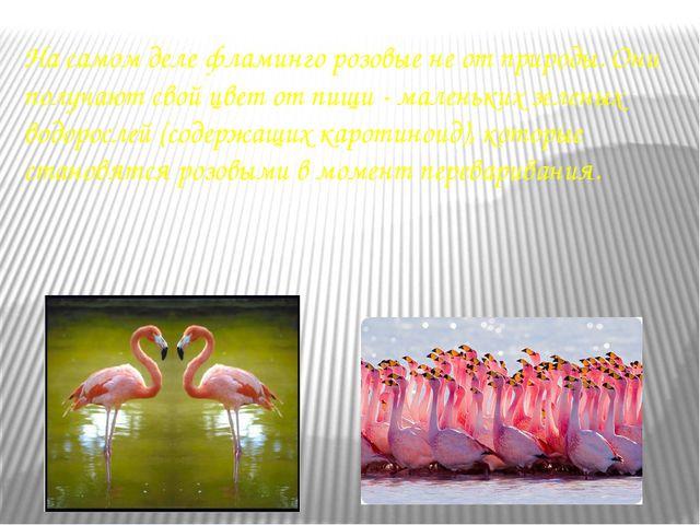 На самом деле фламинго розовые не от природы. Они получают свой цвет от пищи...
