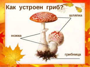 ножка Как устроен гриб? шляпка грибница Мусатова О.Ю.
