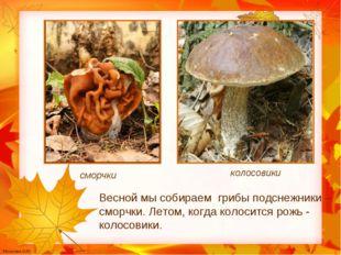 сморчки колосовики Весной мы собираем грибы подснежники – сморчки. Летом, ког