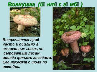 Волнушка (йөнтәс гөмбә) Встречается гриб часто и обильно в смешанных лесах, п