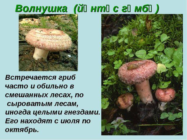 Волнушка (йөнтәс гөмбә) Встречается гриб часто и обильно в смешанных лесах, п...
