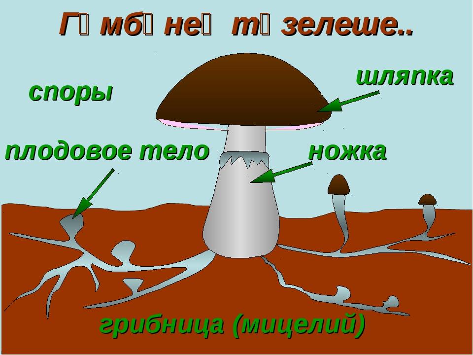 шляпка грибница (мицелий) плодовое тело ножка Гөмбәнең төзелеше.. споры