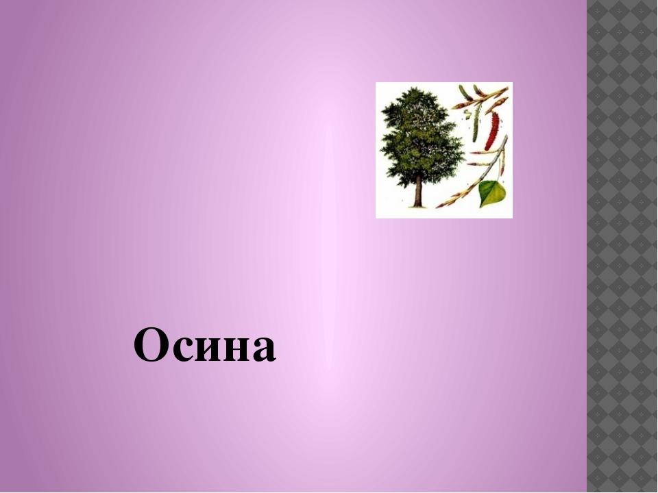 Осина