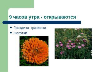 9 часов утра - открываются Гвоздика-травянка Ноготки