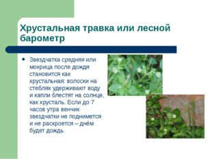 Хрустальная травка или лесной барометр Звездчатка средняя или мокрица после д