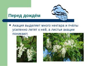Перед дождём Акация выделяет много нектара и пчёлы усиленно летят к ней, а ли