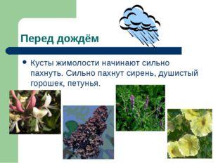 Перед дождём Кусты жимолости начинают сильно пахнуть. Сильно пахнут сирень, д