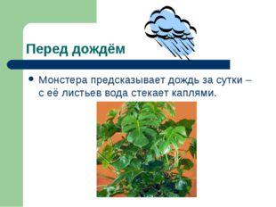 Перед дождём Монстера предсказывает дождь за сутки – с её листьев вода стекае