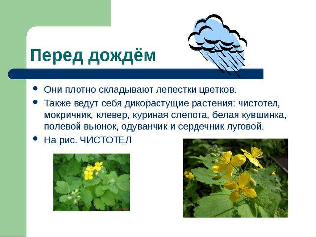 Перед дождём Они плотно складывают лепестки цветков. Также ведут себя дикорас...