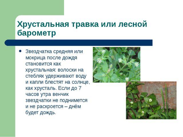 Хрустальная травка или лесной барометр Звездчатка средняя или мокрица после д...