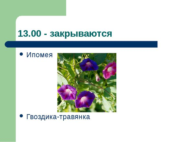 13.00 - закрываются Ипомея Гвоздика-травянка