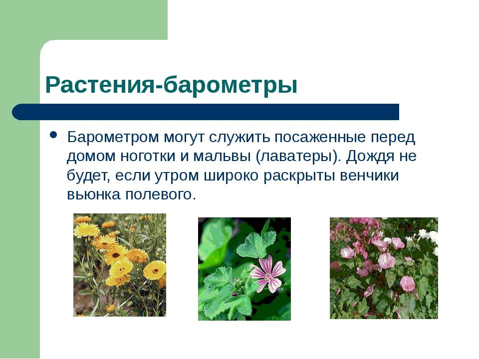 Растения-барометры Барометром могут служить посаженные перед домом ноготки и...