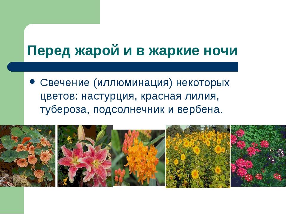 Перед жарой и в жаркие ночи Свечение (иллюминация) некоторых цветов: настурци...