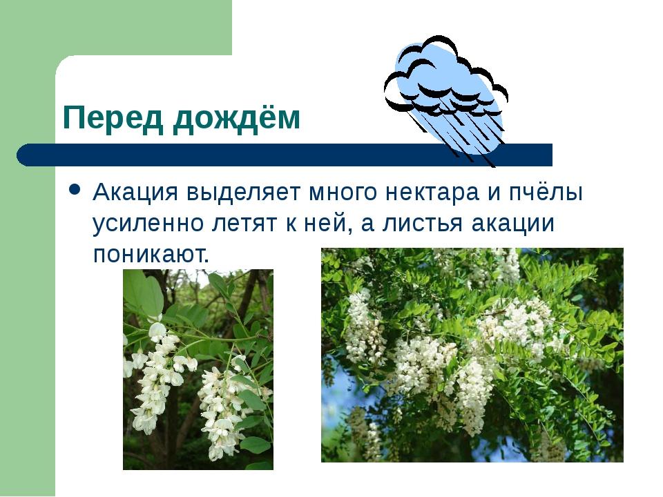 Перед дождём Акация выделяет много нектара и пчёлы усиленно летят к ней, а ли...