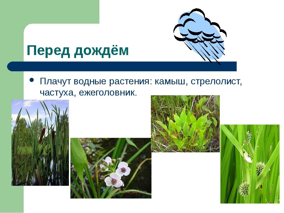 Перед дождём Плачут водные растения: камыш, стрелолист, частуха, ежеголовник.