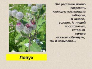 Лопух Это растение можно встретить повсюду: под каждым забором, в канаве, у
