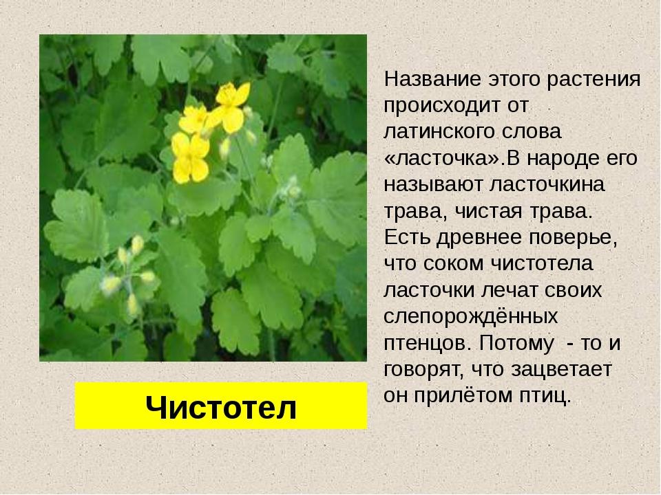 Название этого растения происходит от латинского слова «ласточка».В народе ег...