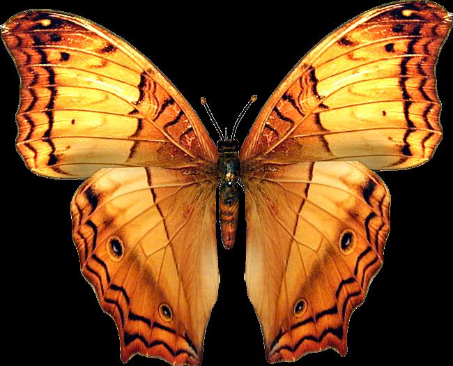 бабочка8.png