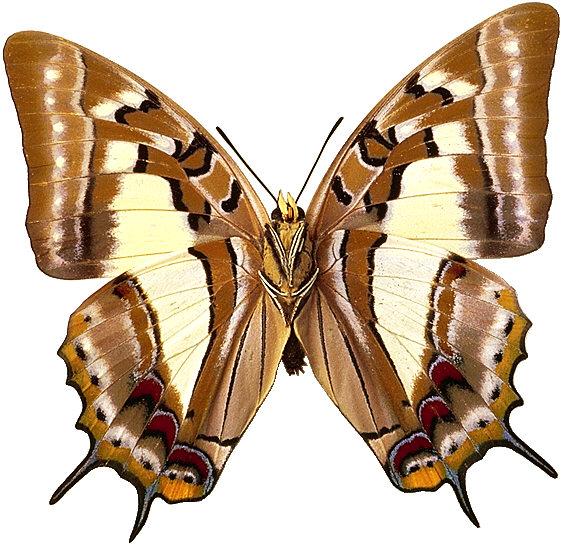 бабочка 7.png