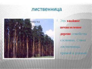 лиственница Это хвойное вечнозеленое дерево семейства сосновых. Ствол листвен