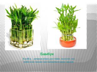 Бамбук Бамбук- вечнозелёное растение, поэтому его побегами можно наслаждатьс