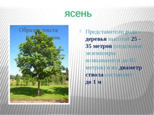 ясень Представители рода- деревья высотой 25 - 35метров (отдельные экземпля