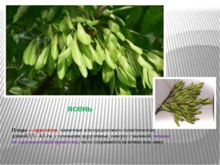 ясень Плоды— крылатки, ланцетные или продолговато-эллиптические, длиной 3,5
