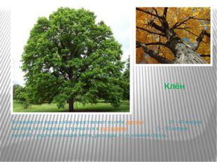Клён Большинство видов клёна представляют из себя деревья 10 - 40метров высо