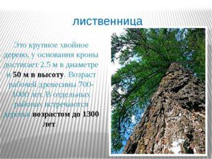 лиственница Это крупное хвойное дерево, у основания кроны достигает 2.5 м в д