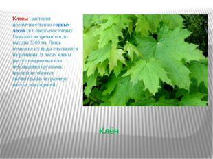 Клён Клены -растения преимущественно горных лесов (в Северо-Восточных Гималая