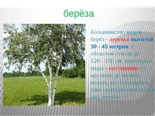 берёза Большинство видов берёз- деревья высотой 30 - 45метров, с обхватом с
