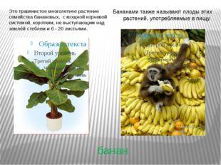 банан Это травянистое многолетнее растение семейства банановых, с мощной корн