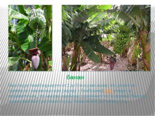 банан Высота растений варьирует от 2 до 9 м и даже выше, что делает их одними
