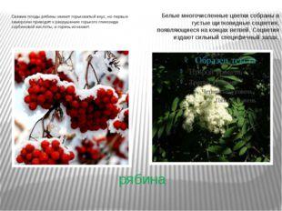 рябина Свежие плоды рябины имеют горьковатый вкус, но первые заморозки привод