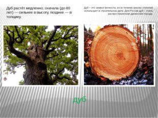 дуб Дуб растёт медленно, сначала (до 80 лет) — сильнее в высоту, позднее — в