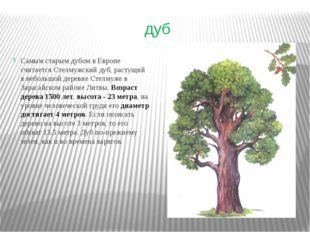 дуб Самым старым дубом в Европе считается Стелмужский дуб, растущий в небольш