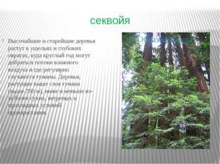 секвойя Высочайшие и старейшие деревья растут в ущельях и глубоких оврагах, к