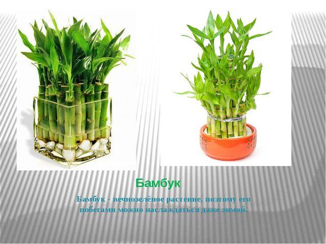 Бамбук Бамбук- вечнозелёное растение, поэтому его побегами можно наслаждатьс...