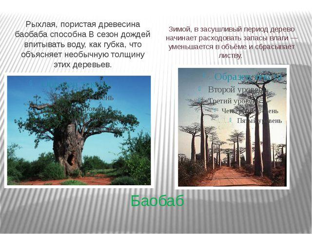 Баобаб Рыхлая, пористая древесина баобаба способна В сезон дождей впитывать в...