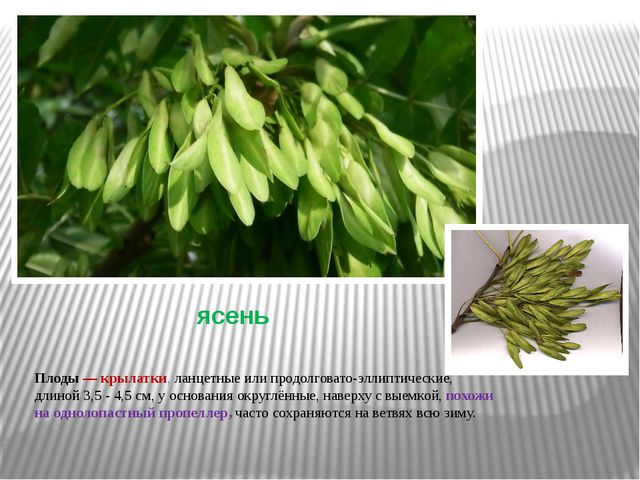 ясень Плоды— крылатки, ланцетные или продолговато-эллиптические, длиной 3,5...