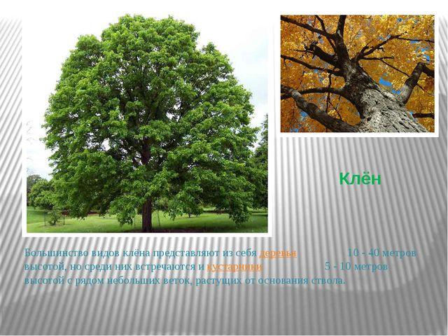 Клён Большинство видов клёна представляют из себя деревья 10 - 40метров высо...