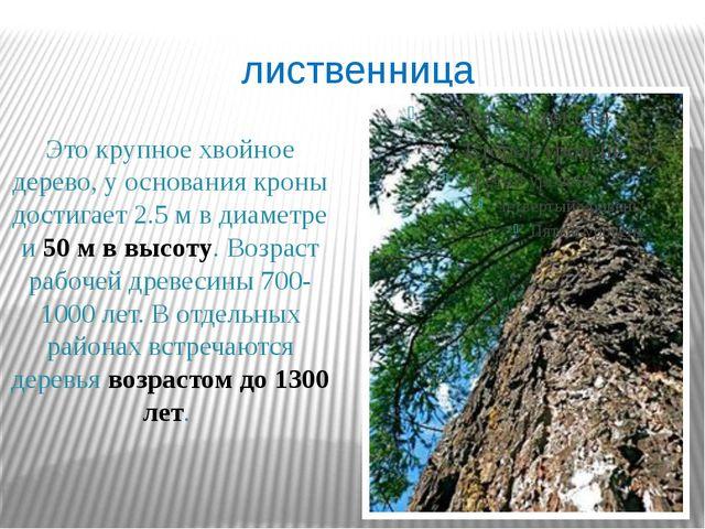 лиственница Это крупное хвойное дерево, у основания кроны достигает 2.5 м в д...