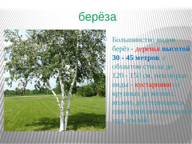 берёза Большинство видов берёз- деревья высотой 30 - 45метров, с обхватом с...