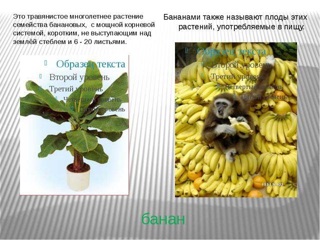 банан Это травянистое многолетнее растение семейства банановых, с мощной корн...