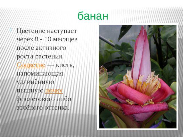 банан Цветение наступает через 8 - 10 месяцев после активного роста растения....